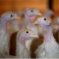 ontario-turkey-flu.jpg.size.xxlarge.letterbox