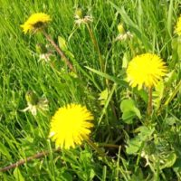 dandelions-in-a-field